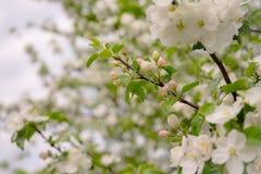 Apple-Blumen sind hallo vom Fr?hling! lizenzfreie stockfotografie