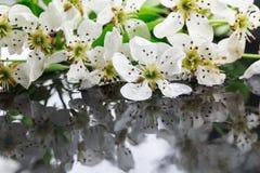 Apple-Blumen und -blätter mit Wassertropfen Lizenzfreie Stockfotografie