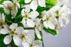 Apple-Blumen und -blätter mit Wassertropfen Stockfotografie