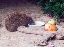Apple, bolso, de púas, garras, lindas, bebe la leche, espigada, flores, divertidas, hierba, leche, agujas, noche Foto de archivo libre de regalías