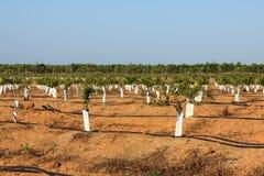 Apple-bomen Stock Foto