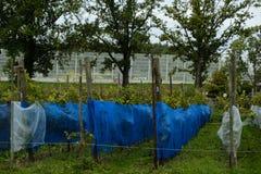 Apple-bomen in Amsterdam, Nederland royalty-vrije stock foto