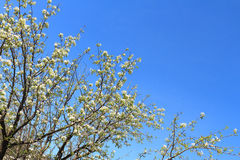 Apple-bomen in de lente Royalty-vrije Stock Afbeelding
