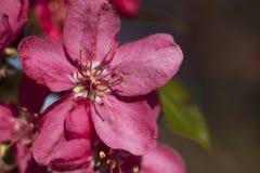 Apple-bomen die in heldere roze bloemen bloeien Stock Foto's