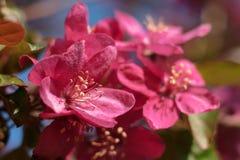 Apple-bomen die in heldere roze bloemen bloeien Royalty-vrije Stock Foto's