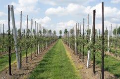 Apple-bomen in een boomgaard Stock Afbeeldingen