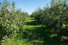 Apple-bomen in een boomgaard Royalty-vrije Stock Afbeelding