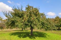 Apple-bomen het Meer van Konstanz Royalty-vrije Stock Fotografie