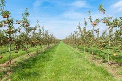 Apple-bomen met appelen in een boomgaard in de zomer worden geladen die royalty-vrije stock afbeelding