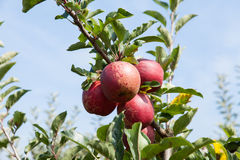 Apple-bomen met appelen in een boomgaard in de zomer worden geladen die royalty-vrije stock fotografie
