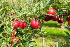 Apple-bomen met appelen in een boomgaard in de zomer worden geladen die stock afbeelding