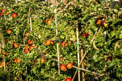 Apple-bomen met overvloedsappelen aan oogst royalty-vrije stock foto's