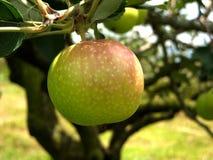Apple-bomen met roodachtige groene appel stock afbeeldingen