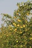 Apple-Bomen met Vruchten royalty-vrije stock foto's