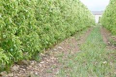 Apple-Bomenboomgaard Stock Afbeeldingen