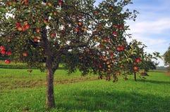 Apple-bomenboomgaard Royalty-vrije Stock Afbeeldingen