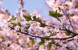 Apple bonito floresce na mola no jardim foto de stock royalty free