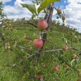 Apple-boom Stock Fotografie