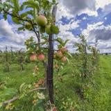 Apple-boom Stock Foto's