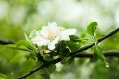 Apple-boom in bloei, in een plichtsgetrouwe, bewolkte dag royalty-vrije stock fotografie