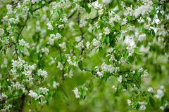 Apple-boom in bloemen Stock Afbeelding