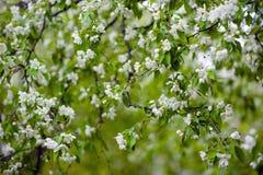 Apple-boom in bloemen Stock Foto's