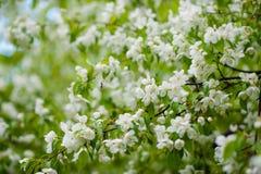 Apple-boom in bloemen Royalty-vrije Stock Afbeelding