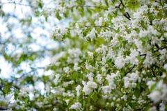 Apple-boom in bloemen Royalty-vrije Stock Afbeeldingen