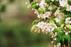 Apple-boom in bloemen Stock Foto