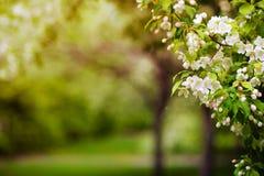 Apple-boom in bloemen Royalty-vrije Stock Fotografie