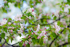 Apple-boom in bloemen Royalty-vrije Stock Foto's