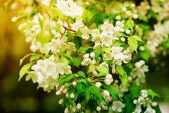 Apple-boom in bloemen Stock Fotografie