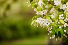 Apple-boom in bloemen Stock Afbeeldingen