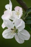 Apple-boom bloemen op een groene achtergrond Royalty-vrije Stock Foto