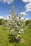 Apple-boom in bloesem Royalty-vrije Stock Foto