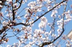 Apple-boom in bloesem tegen blauwe hemel Royalty-vrije Stock Afbeeldingen