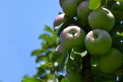 Apple boom in de tuin Stock Afbeelding