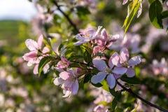 Apple-boom, die in een tuin bloeien Royalty-vrije Stock Foto