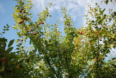 Apple-boom in een tuin Stock Foto's