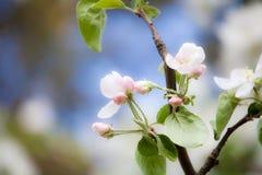 Apple-boom het bloeien stock afbeeldingen