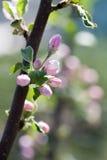 Apple-boom het bloeien royalty-vrije stock foto's