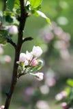 Apple-boom het bloeien royalty-vrije stock afbeelding