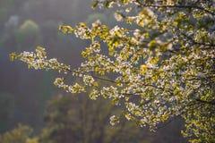 Apple-boom het tot bloei komen Stock Fotografie