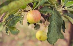 Apple-boom met appelen Stock Foto's
