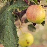Apple-boom met appelen Stock Afbeelding