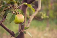 Apple-boom met appelen Royalty-vrije Stock Foto