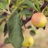 Apple-boom met appelen Stock Foto