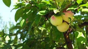 Apple-boom met appelen stock footage