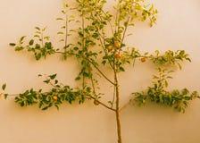 Apple-boom met gerijpte rode appelen op muur Royalty-vrije Stock Foto's