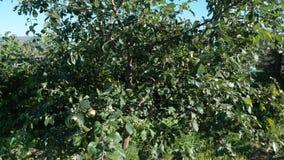 Apple-boom met groene appelen in de tuin stock videobeelden